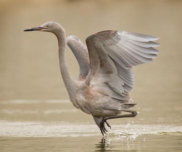 Reddish Egret San Luis Rey River Oceanside 2012 09 13 (4 of 7).CR2