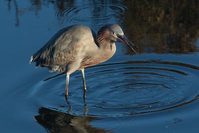 Reddish Egret  San Diego River 2019 02 22-2-2.CR2
