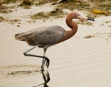 Reddish Egret  San Diego River 2011 07 02-2.CR2