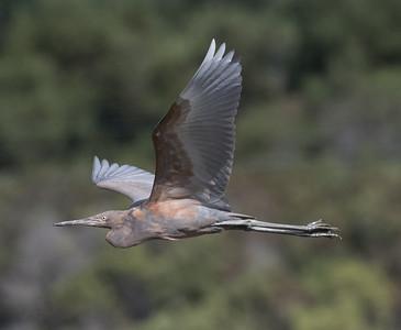 Reddish Egret  San Elijo Lagoon 2020 11 09-2.CR2
