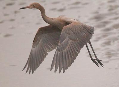 Reddish Egret San Dieguito Lagoon 2015 07 06-2.CR2