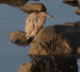 Reddish Egret San Luis Rey River Oceanside 2019 01 26-2.CR2