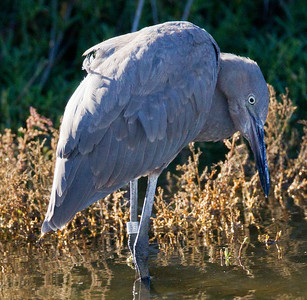 Reddish Egret  San Luis Rey River Oceanside 2012 11 09 (6 of 10).CR2