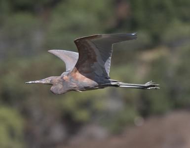 Reddish Egret  San Elijo Lagoon 2020 11 09-1.CR2