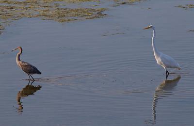 Reddish Egret Great Egret  San Suis Rey Oceanside  2013 08 29 (1 of 1).CR2