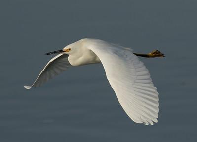 Snowy Egret  San Elijp Lagoon 2016 12 14-4.CR2