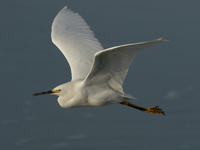 Snowy Egret  San Elijp Lagoon 2016 12 14-5.CR2