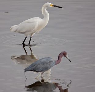 Little-Blue Heron Snowy Egret  San Diego River 08 11 10