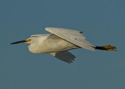 Snowy Egret  Bolsa Chica 2013 08 22 (1 of 2).CR2