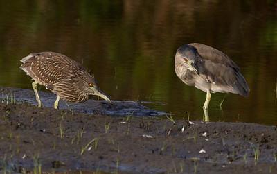 Black-crowned Night-Heron San Dieguito Lagoon 2011 06 01-9.CR2