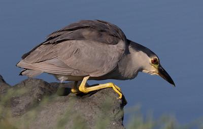 Black-crowned Night-Heron San Elijo Lagoon 2021 07 19-2.CR3