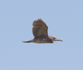 Black-crowned Night-Heron Harper Dry Lake 2018 06 23-1.CR2