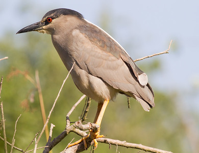 Black-crowned Night-Heron  San Elijo Lagoon 2015 04 13-1.CR2