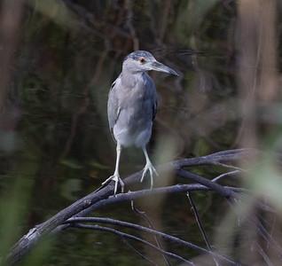 Black-crowned Night-Heron Oceanside 2021 07 18-2.CR3
