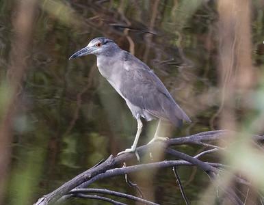 Black-crowned Night-Heron Oceanside 2021 07 18-1.CR3