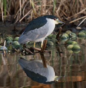 Black-crowned Night-Heron Aviara 2016 10 23-1.CR2