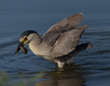 Black-crowned Night-Heron San Elijo Lagoon 2021 07 19-3.CR3