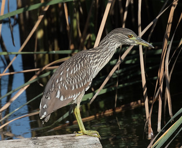 Black-crowned Night-Heron  Guajomi Park 2019 09 14-1.CR2