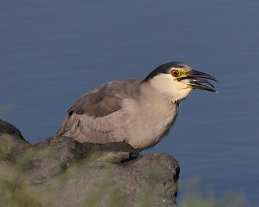 Black-crowned Night-Heron San Elijo Lagoon 2021 07 19-4.CR3