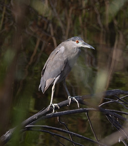 Black-crowned Night-Heron Oceanside 2021 07 18-3.CR3