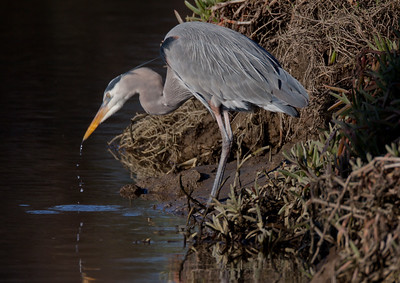 Great-blue Heron San dieguito River 2011 01 23 (2 of 2).CR2