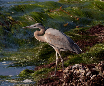 Great-blue Heron Point Loma 2009 11 16-1-2.CR2