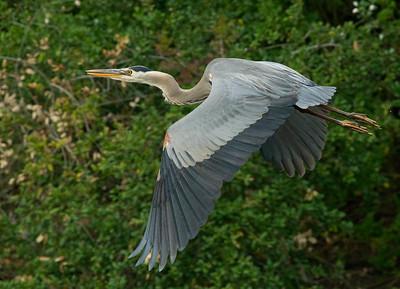 Great-Blue Heron Carlsbad 2011 05 28-3.CR2