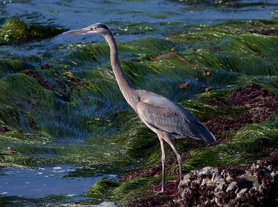 Great-blue Heron Point Loma 2009 11 16-1.CR2