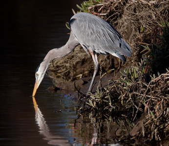 Great-blue Heron  2011 1 23 San Dieguito River  Ca-1-2.CR2