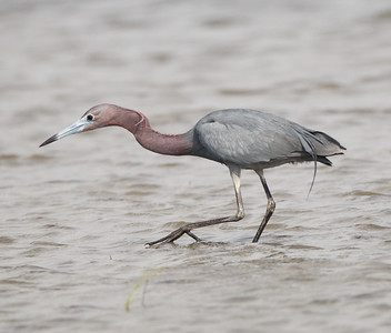 Little Blue Heron  San Diego River 2015 07 16-2.CR2