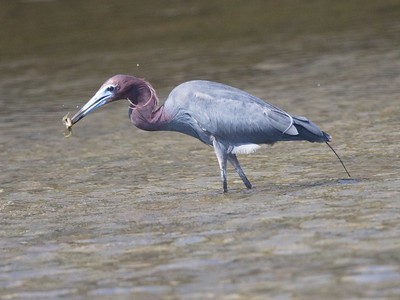 Little-blue Heron San Diego River 2017 06 17-3.CR2