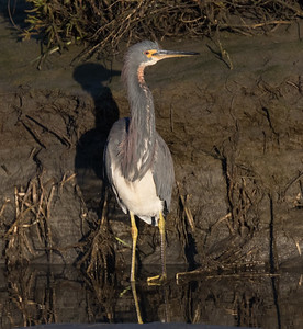 Tri-colored Heron San Diego River 2019 02 22-3.CR2