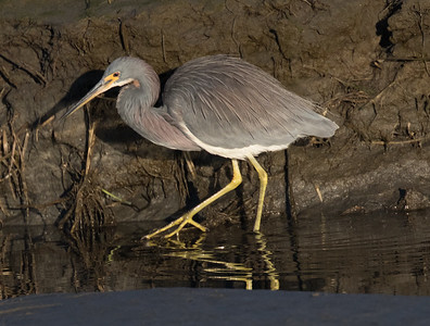 Tri-colored Heron San Diego River 2019 02 22-6.CR2