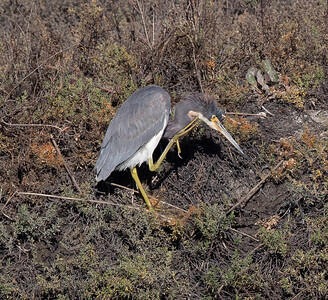 Tricolored Heron San Elijo Lagoon 2020 12 04-1.CR3