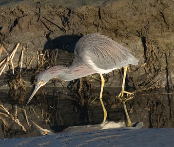 Tri-colored Heron San Diego River 2019 02 22-2.CR2