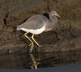 Tri-colored Heron San Diego River 2019 02 22-7.CR2