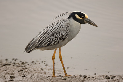 Yellow-crowned Night-Heron Formosa Slough 2017 06 07-3.CR2