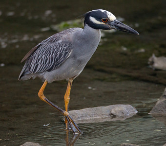 Yellow-crowned Night-Heron  San Diego River 2011 07 02-9.CR2