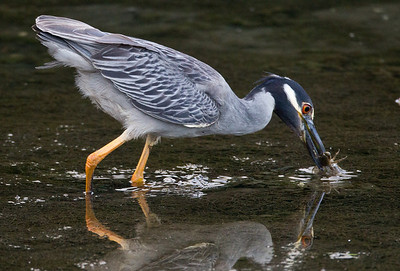 Yellow-crowned Night-Heron  San Diego River 2011 07 02-4.CR2