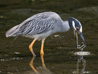 Yellow-crowned Night-Heron  San Diego River 2011 07 02-8.CR2