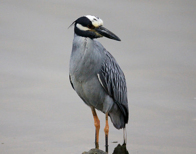 Yellow-crowned Night-Heron  San Diego River 2011 07 23-1-1.JPG