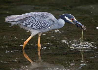 Yellow-crowned Night-Heron  San Diego River 2011 07 02-5.CR2
