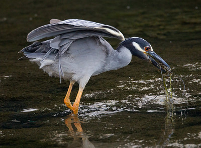 Yellow-crowned Night-Heron  San Diego River 2011 07 02-2.CR2