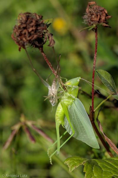 Grosse Schiefkopfschrecke