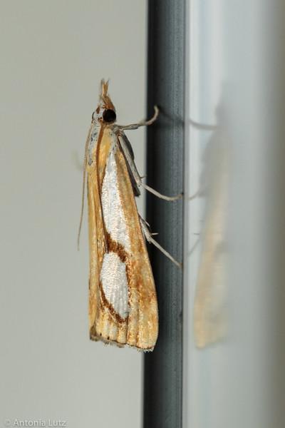 Zünsler (Catoptria pinella)