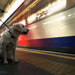 Dog waiting for train at Turnham Green