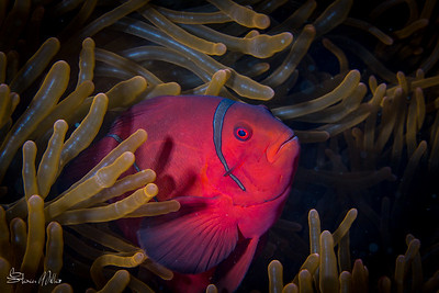 The color of the Spinecheek female is so deep that you can expect to open up 2 F-stops compared to most clowns and general macro shooting. In TTL mode this simply means the strobes will power up automatically, but you may need to open the Aperture as well.