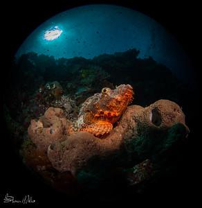 Large Scorpionfish