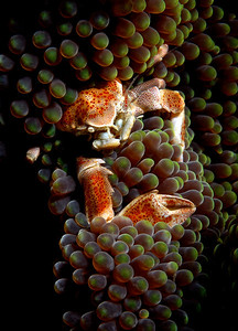 Porcelain Crab hiding in Anemone tentacles