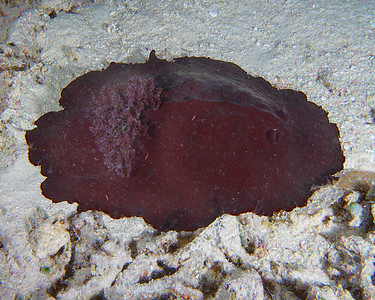 Liver colored nudibranch